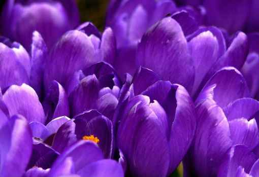 crocus-flower-spring-purple-59992.jpeg